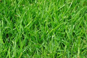 Lush, green grass that has been fertilized