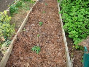 Pine Needles make a great mulch option